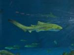 Вечернее фото зебровой акулы