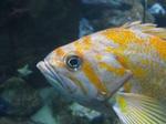 Лицо морского окуня