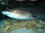 Лицо Бамбуковой акулы