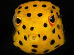 Лицо кузовковой рыбы