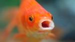 Лицо золотой рыбки