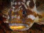Лицо суслика морского окуня