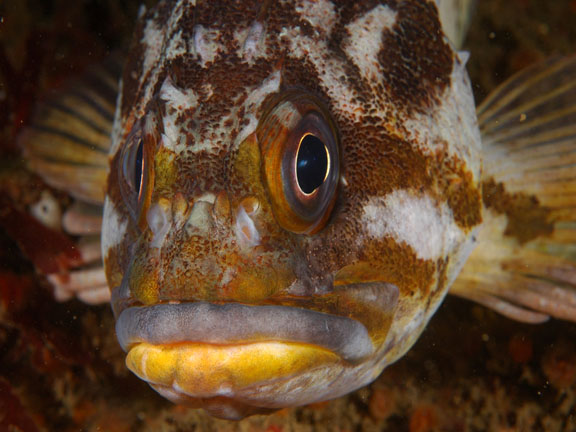 толстолобик морской фото