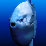 Лицо рыбы-солнца