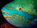 Голова рыбы-попугая