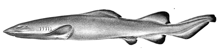 Ложная кошачья акула фото