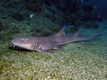 Мелкозубая акула