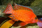 Огневая рыбка в аквариуме