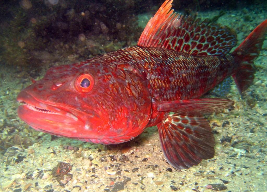 Аулоповая рыба фото