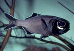 Рыба вида Аномалопид