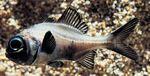 Рыбка форнарик в воде