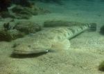 Рыба простак на песке