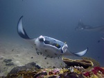 Плавающий Морской дьявол