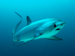 Плавающая акула-лисица