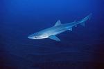 Плавающая Серая акула