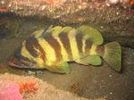 Плавающий Зубчатолобый морской окунь