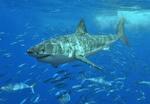 Плавающая Белая акула