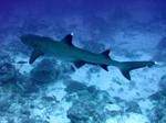 Плывущая рифовая акула