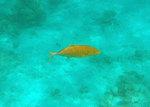 Желтый каранкс плавает