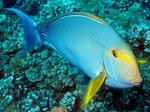 Желтоперая рыба-хирург плавает