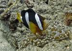 Рыба-клоун плавает
