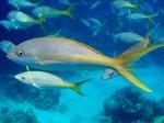 Плавающий Кубинский желтохвост