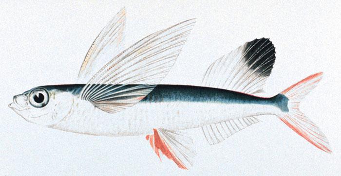Долгопер-летун фото
