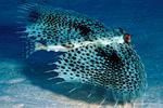 Морской петух в море
