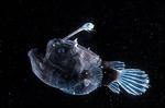 Рыба- мяч