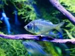 Пресноводная стеклянная рыба