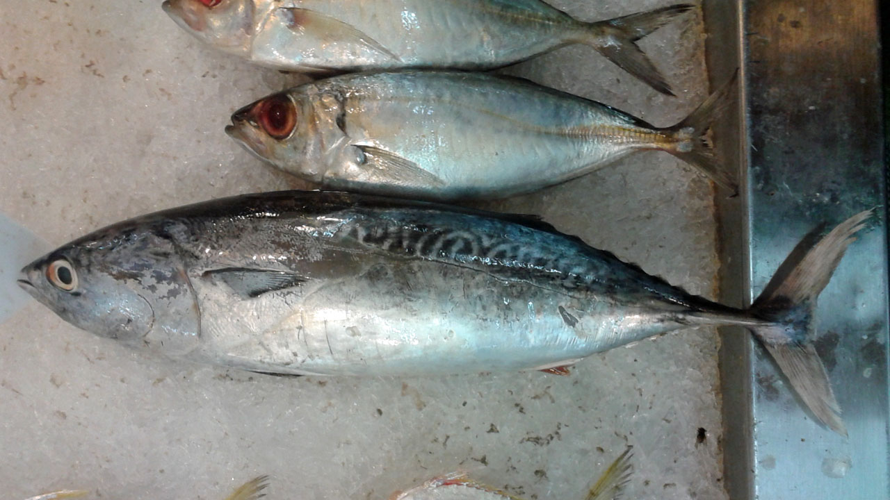 Макрелевый тунец фото