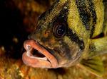 Забавная морда Зубчатолобого морского окуня