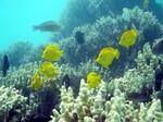 Смешные рыбы породы Желтая зебросома