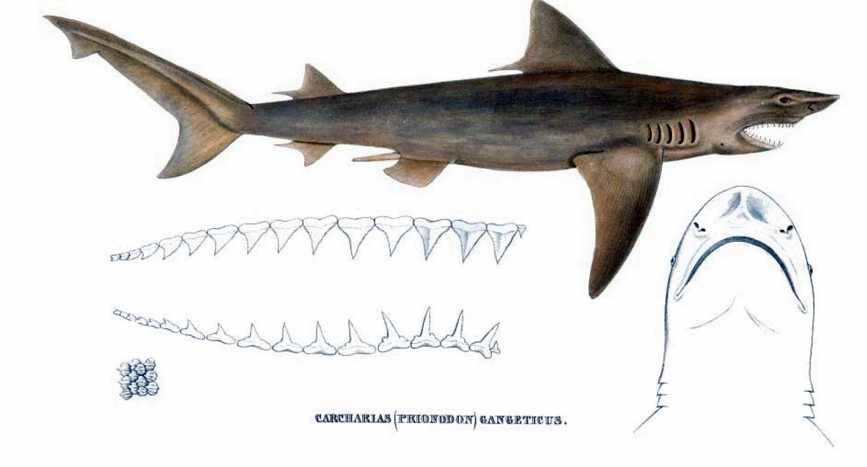 Гангская акула фото
