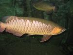 Золотая рыба Аруана