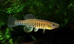 Золотая рыба-убийца