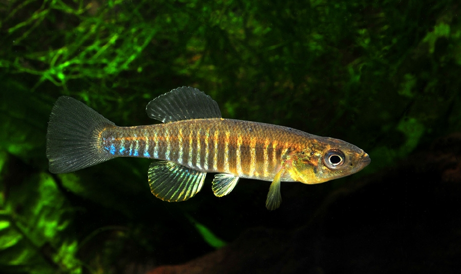 рыба белый убийца