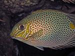 Золотая рыба Сиган