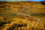 Золотая форель под водой