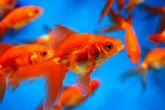 Золотые рыбки в бассейне