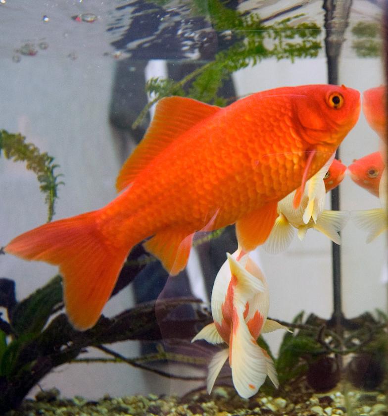 Обыкновенная золотая рыбка фото