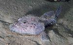 Удильщиковая рыба