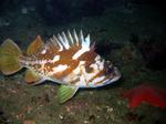 Суслик морского окуня плывет