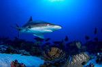 Серая акула под водой