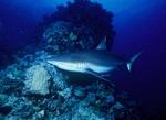 Серая акула на дне