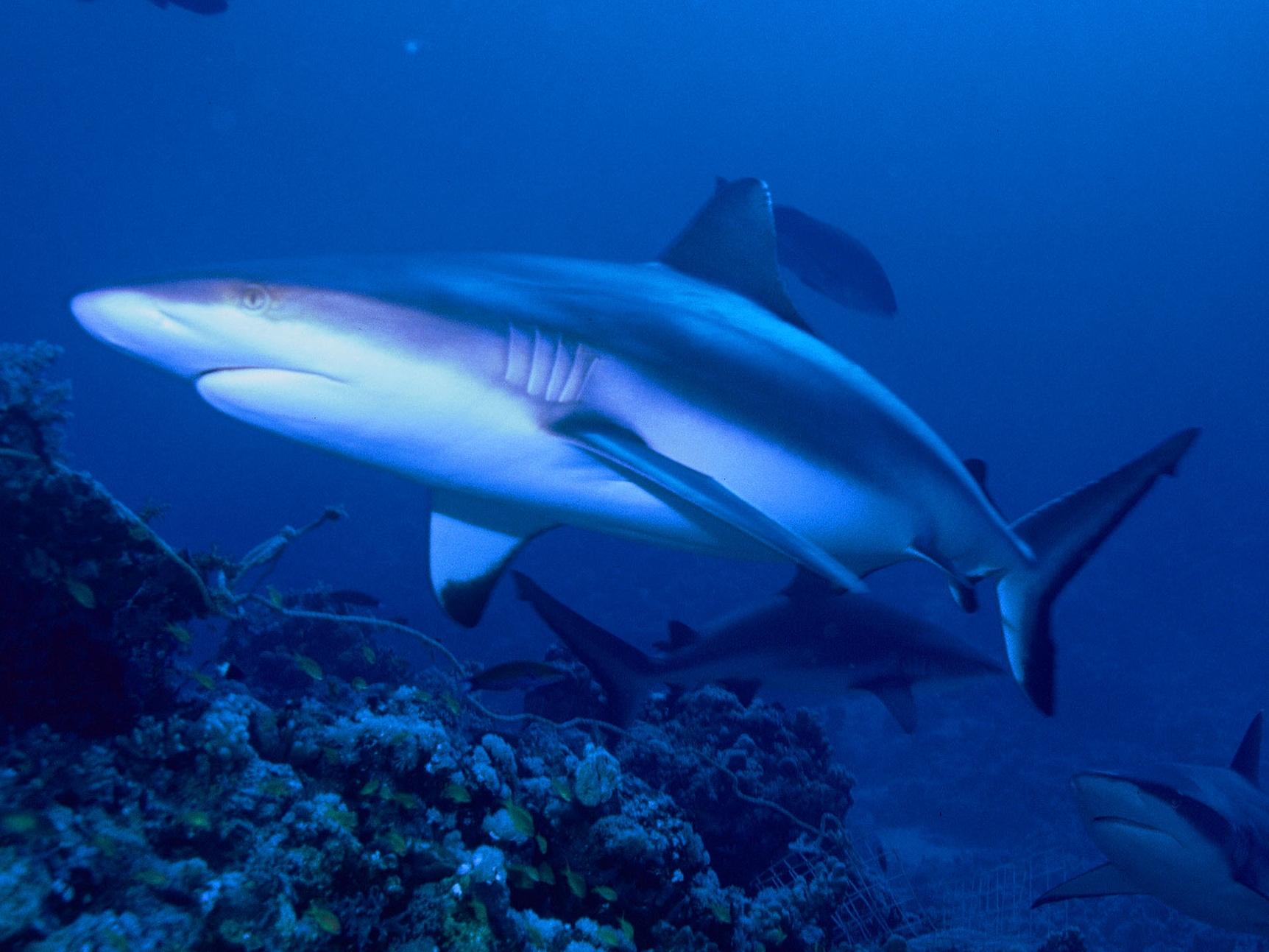 Темнопёрая серая акула фото