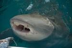 Прекрасная слепая акула