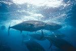 Прекрастный голубой тунец