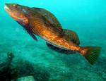 Терпуговая рыба плывет