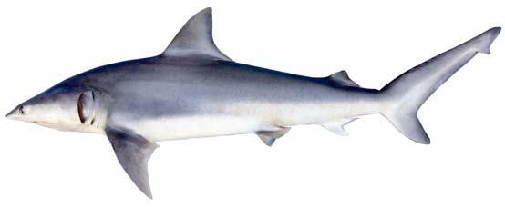 Земляная акула фото